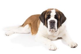saint-bernard-on-white-03